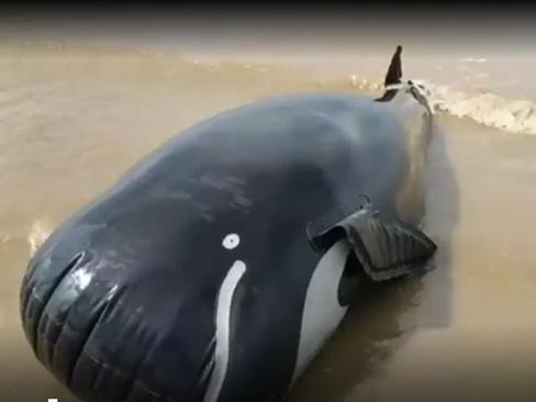 Inflatable whales model used to train marine rescue volunteers